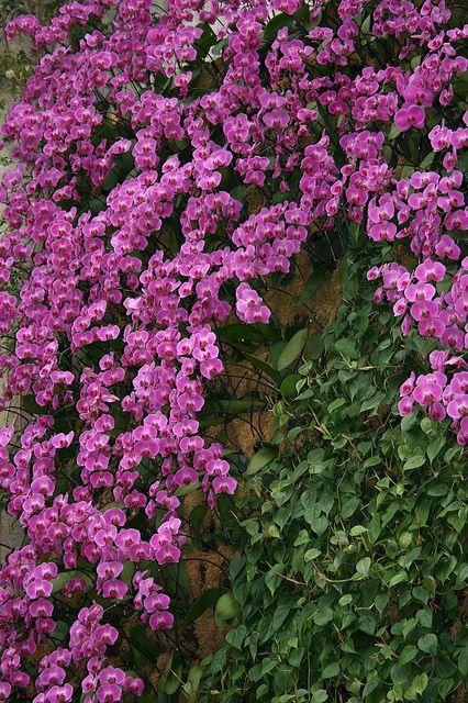 Jardín Vertical   Orquídeas Phalaenopsis