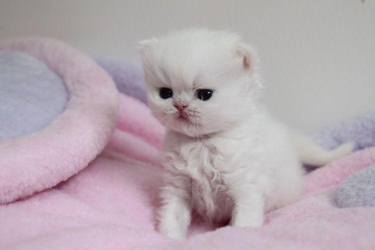 Persian Kittens For Sale Teacup Persian Kittens For Sale White Teacup Persian Kittens Persian Kittens Teacup Kitten