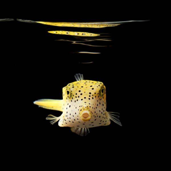 Mark Laita · Yellow Boxfish · 2010Verfügbarkeit anfragen