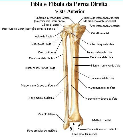 Fibrosseus Tunnel Anatomy Diagram Of Tibia And Fibula Diagram