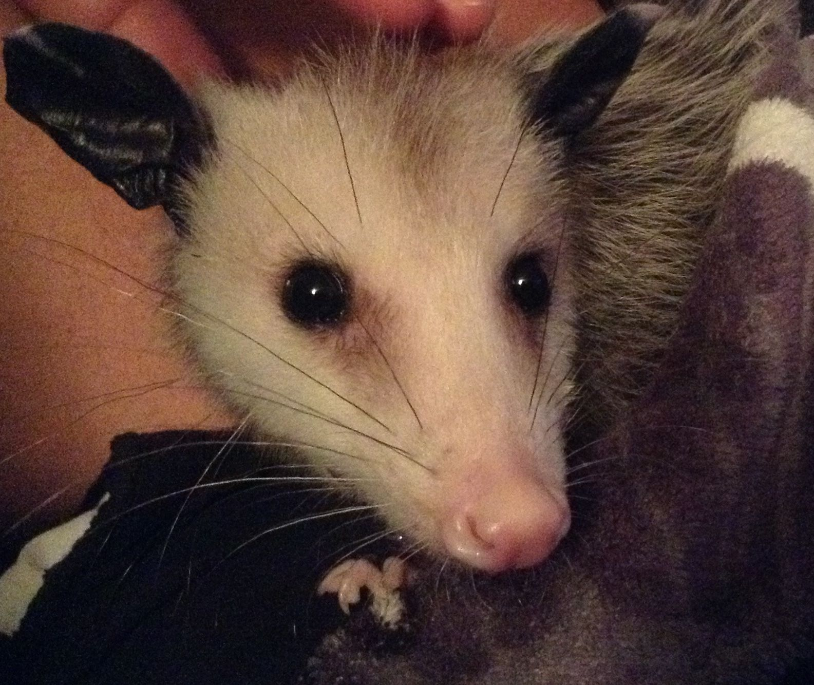 pin by marie warren horne on my fur babies pinterest opossum