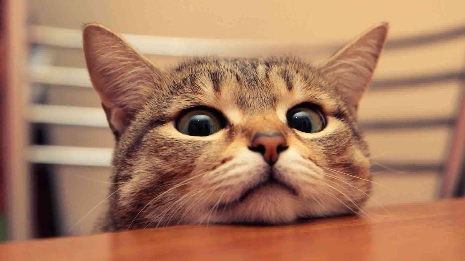 93  Gambar Kucing Hias Paling Keren