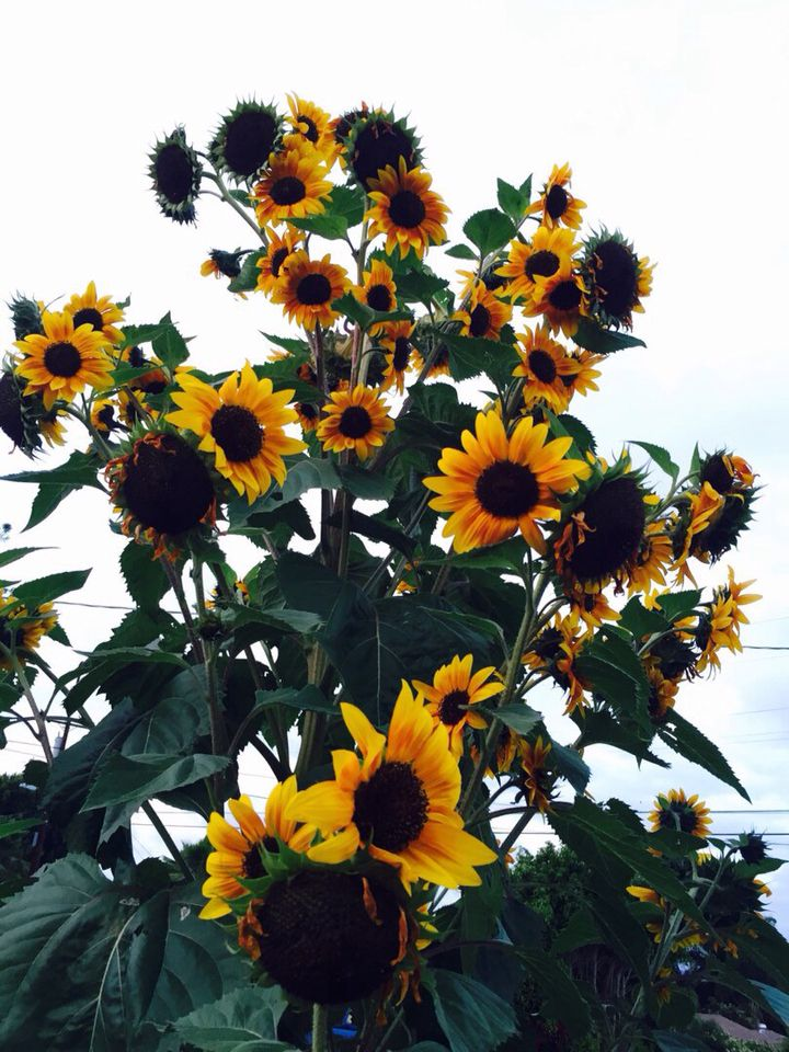 Pin by Carina Bucalov on • LITTLE • THINGS • Sunflower