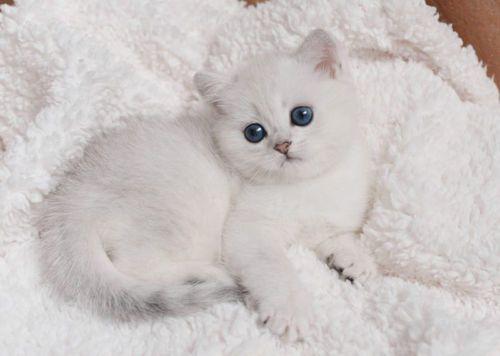 British Shorthair Chinchilla Kittens Kittens British Shorthair Cats Kittens Cutest