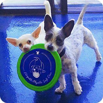 Orange, CA Dachshund/Chihuahua Mix. Meet Paul, a dog for