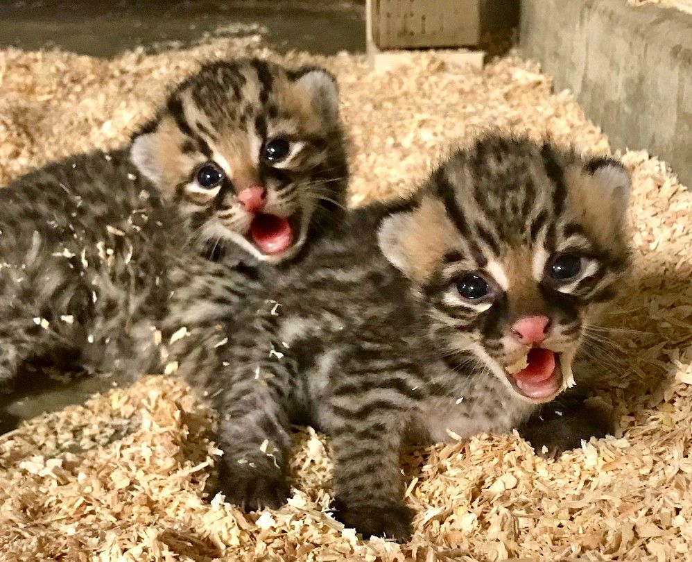 Spring Babies Abound At Los Angeles Zoo Cute Baby Cats Zooborns Ocelot Pet