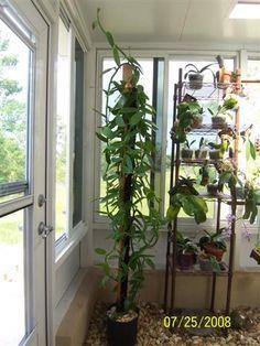 The Spice Series Vanilla Plants Indoor Garden Grow Vanilla