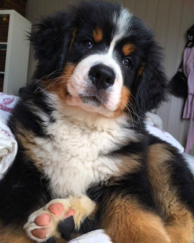 Posted by @bernesemountaindoglovers