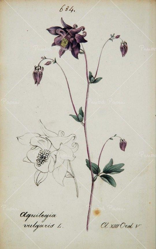 1826 aquilegia vulgaris european columbine botanical columbines aquilegia pinterest. Black Bedroom Furniture Sets. Home Design Ideas
