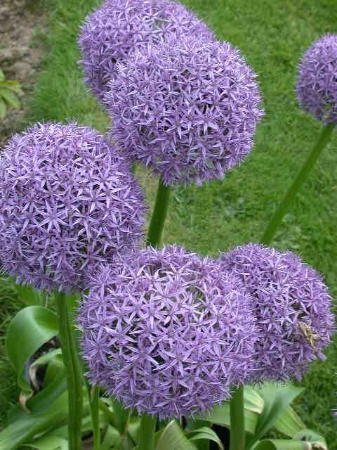 Allium Gladiator Or Flowering Onion This Pretty Plant Grows In Full Sun From A Bulb