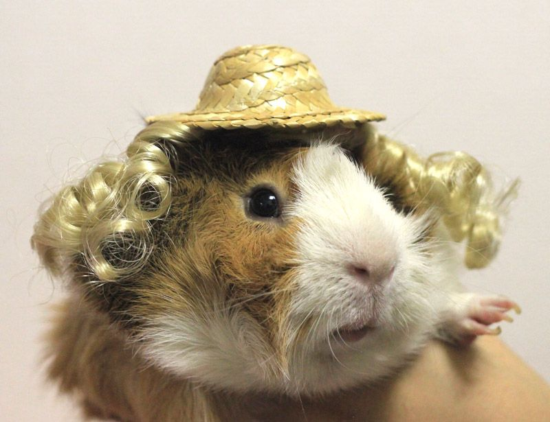 Guinea Pig Costume (Straw Hat + Hair Extension)