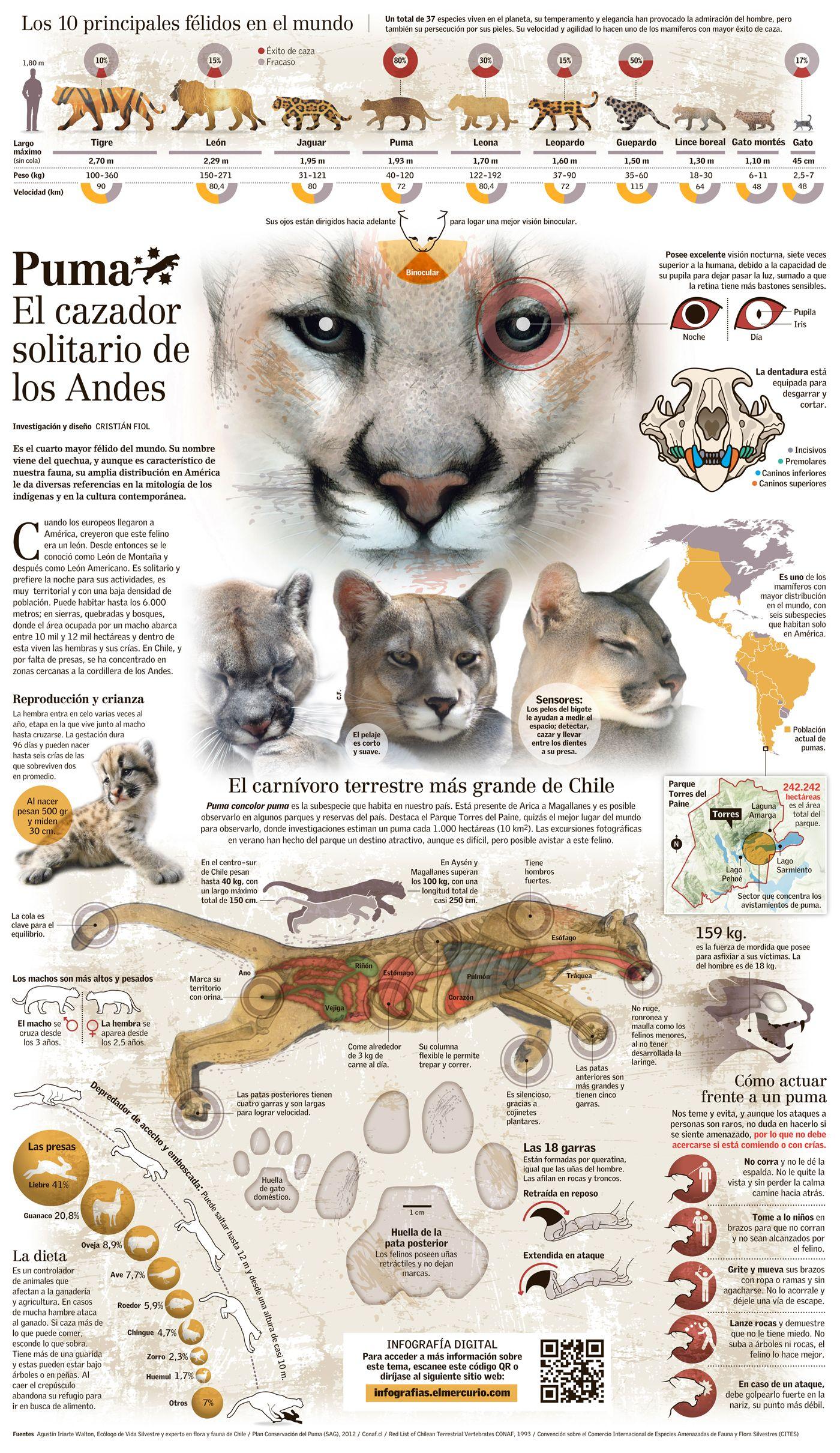Ausencia estimular Oclusión  Puma chileno | Infografia de animales, Informacion de animales, Pumas animal