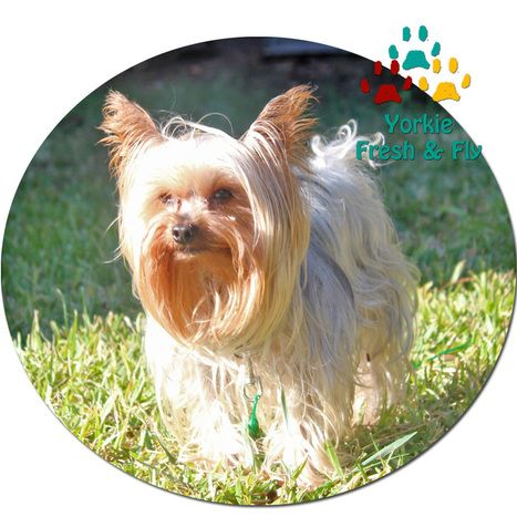 Yorkie Shampoo Yorkshire Terrier Conditioner Yorkie Hair Products
