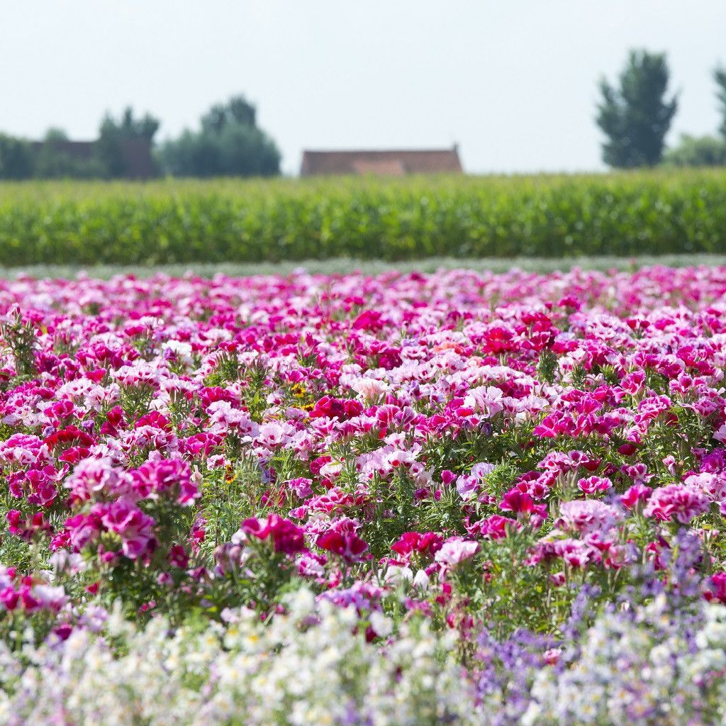 Clarkia Amoena Godetia Farewell To Spring California Native Plants Wildflower Seeds Most Popular Flowers