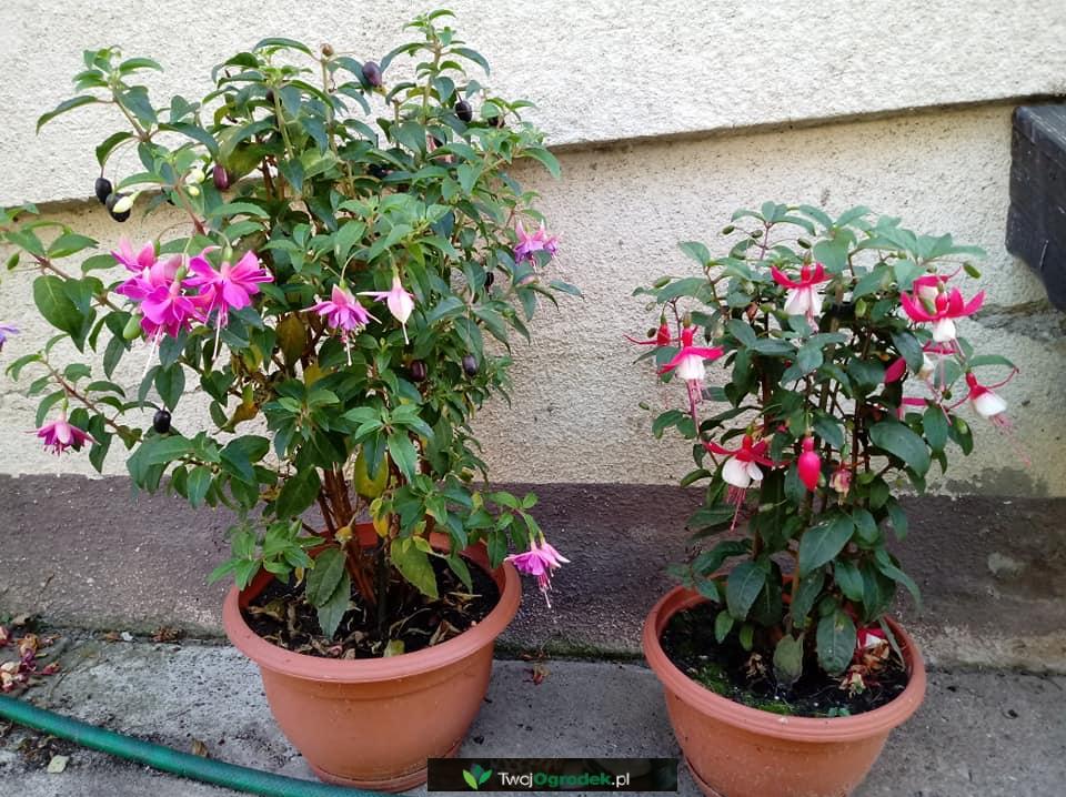 Fuksje W Doniczkach Plants Flowers Fuchsia