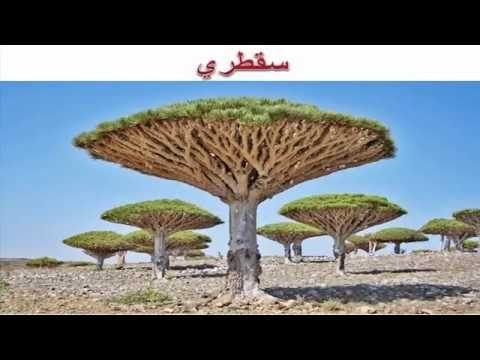 فوائد عشبة دم الأخوين سقطري شجرة الصبر World The Originals