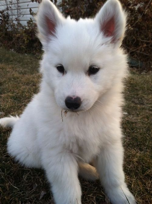 Chusky Husky Chow Chow White Husky Puppy Cute White Puppies