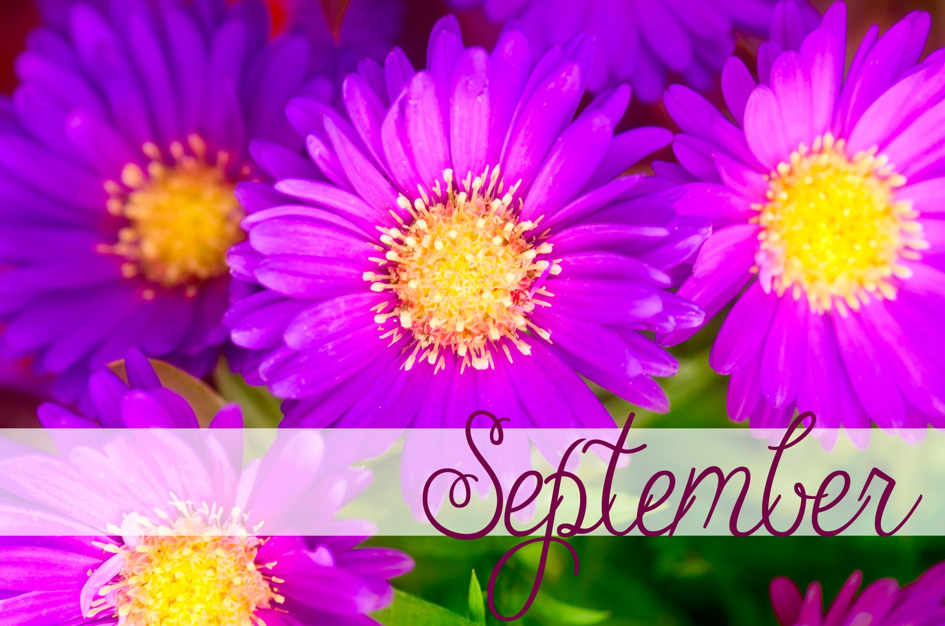 Happy September Birthday September Birthdflower Is The Aster And