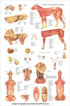 Dog Internal Anatomy Poster 24 X 36 Dog Anatomy Dog Health Vet