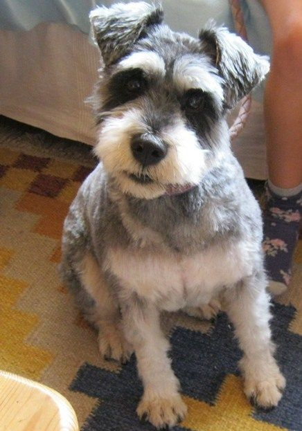 Image Result For Schnauzer Haircuts Schnauzer Grooming Cute Animals Fur Babies
