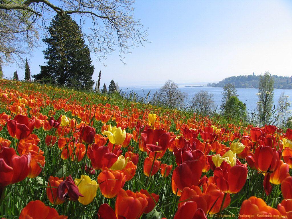 Tulpenblute Auf Der Insel Mainau Am Bodensee Seelenfarben Weisser Hintergrund Desktop Hintergrund