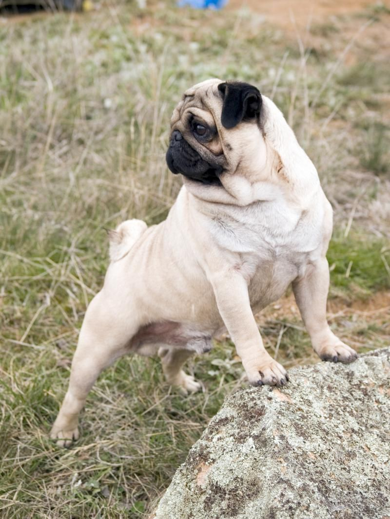Pug Dogs Pictures Stud Dog Warangal Dog Show News Id 12876