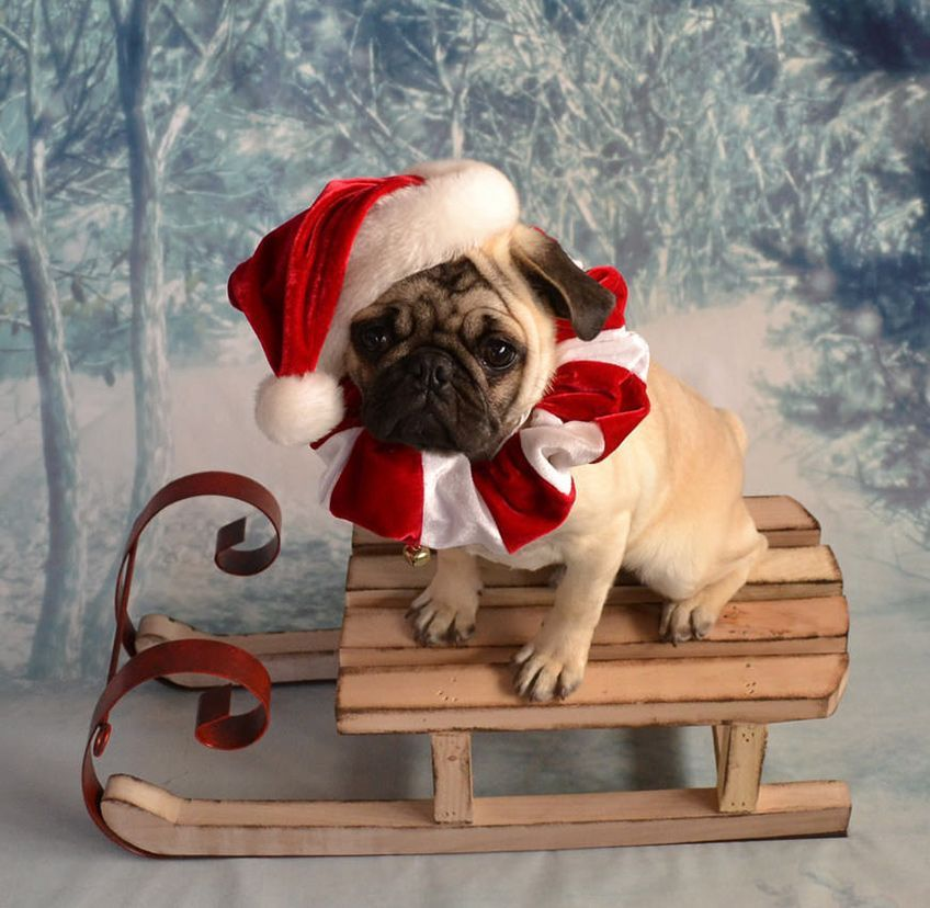 10 Pets That Are Totally Into The Holidays Pug Christmas Cute