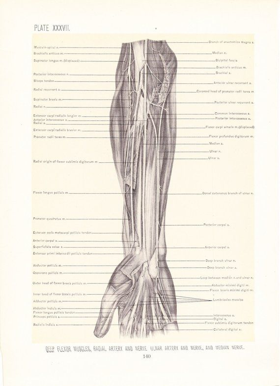 Anatomy 1899 Human Anatomy Print Muscles And Nerves Of Arm