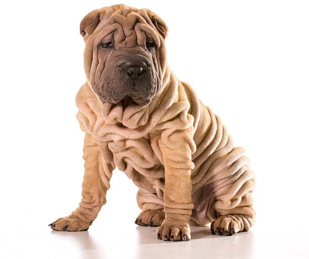 Chinese Shar Pei Dog Breed Information