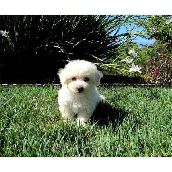 Maltipoo Female Puppy92130 Maltipoo Maltipoo Puppy Designer Dogs Breeds