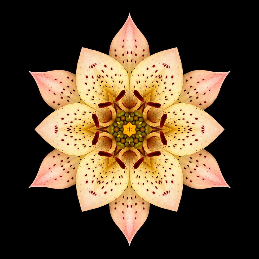Asiatic lilies for sale asiatic lily flower mandala photograph a asiatic lilies for sale asiatic lily flower mandala photograph izmirmasajfo Image collections