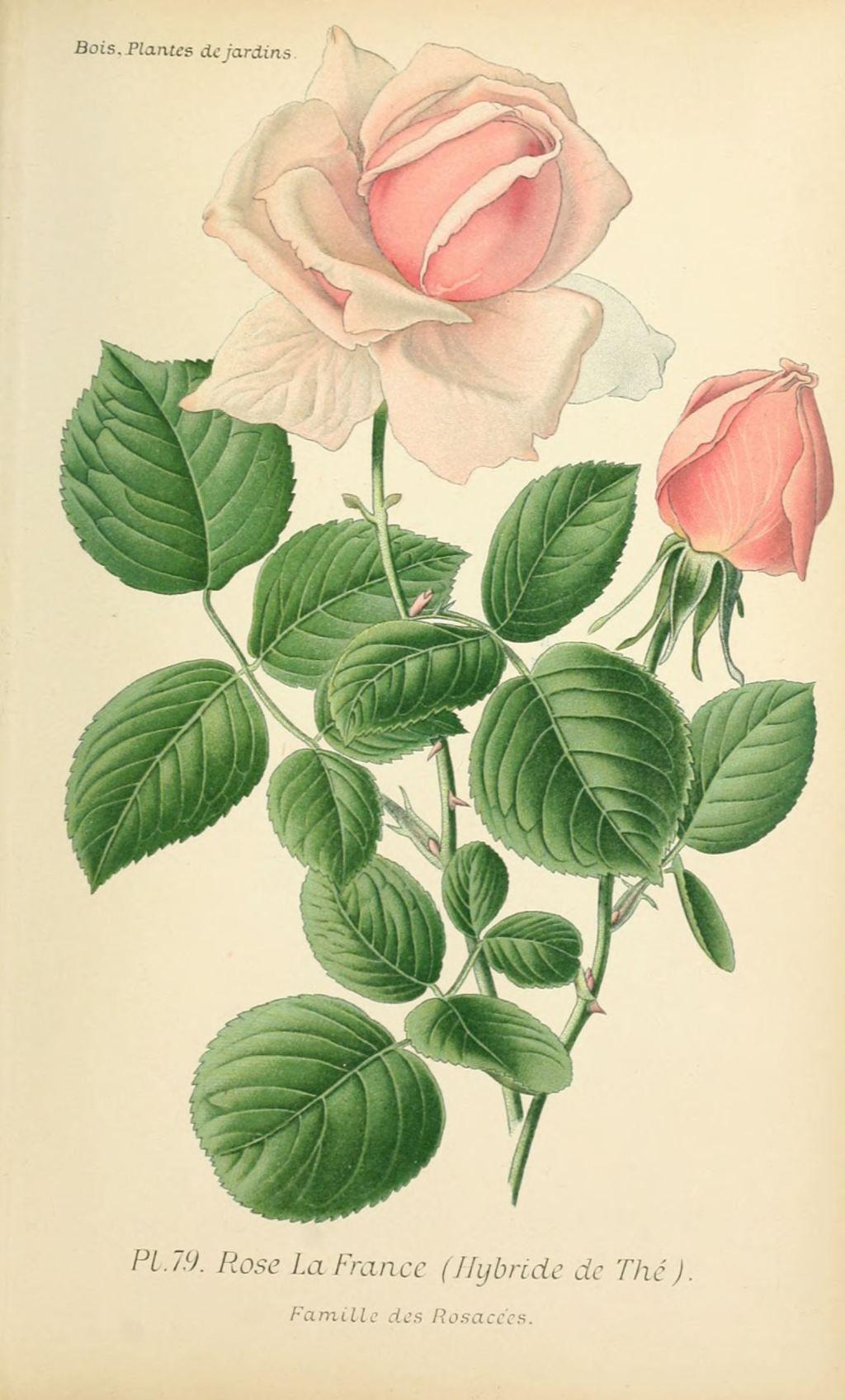 Gravures fleurs de jardin gravure de fleur de jardin for Fleurs de jardin
