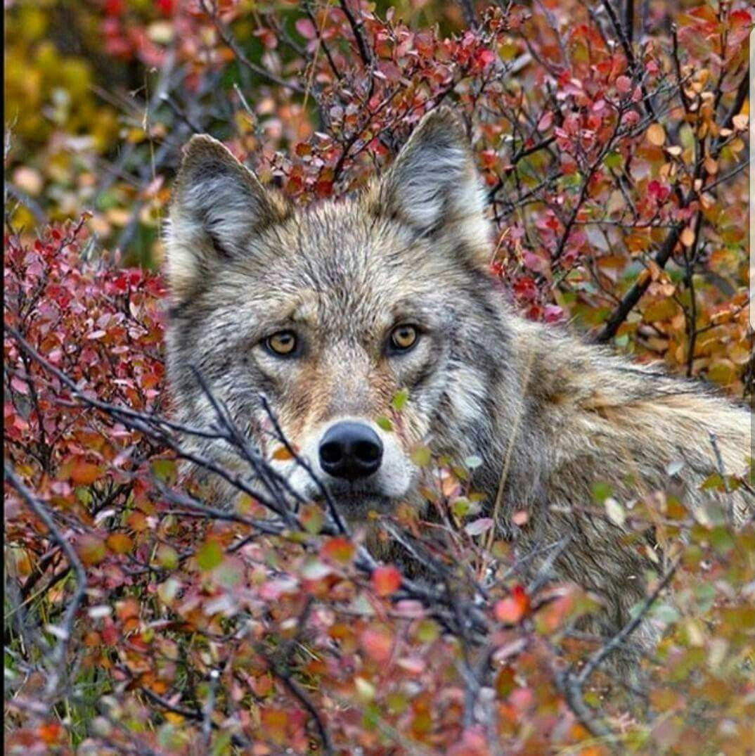 Pin By Linda Shanes On Wolves