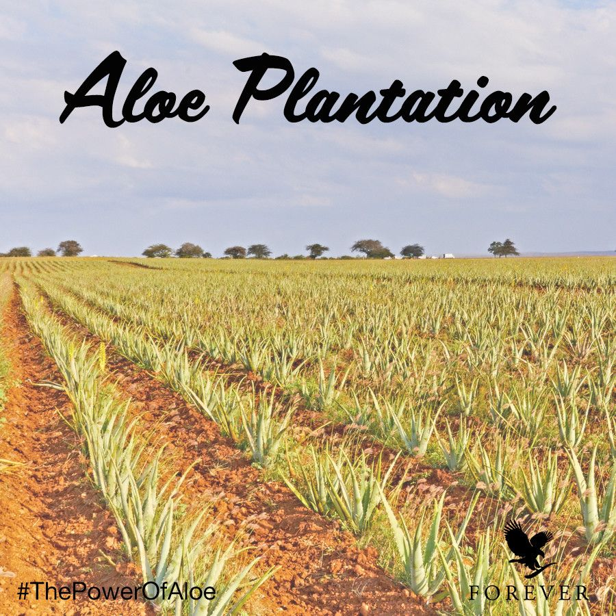 Discover Forever's 6,500 acre Aloe plantation in the