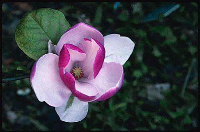 Magnolia Soulangeana Lennei Saucer Magnolia Lennei