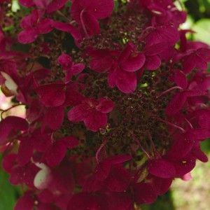 Fire and Ice Hydrangea - Plant Library - Pahl's Market - Apple Valley, MN