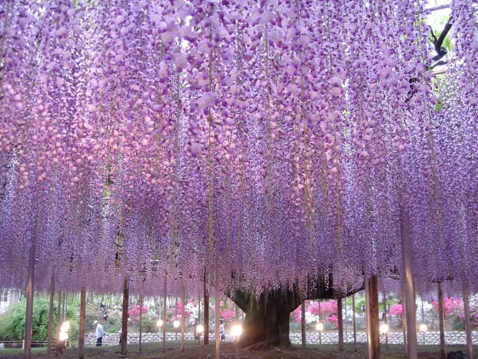 Noda fuji (wisteria), a species native to Japan, comes in varieties named for their cascading trusses: Usubeni fuji (light pink), Murasaki fuji (purple), Naga fuji (long), Yae kokuryu (double-petaled black dragon), and Shiro fuji (white), which come into bloom in that order. Finally, a yellow variant of wisteria (known as Golden chain or Common laburnum; [Laburnum anagyroides]) - and widely considered difficult to grow in Japan - can also be enjoyed for over a month.