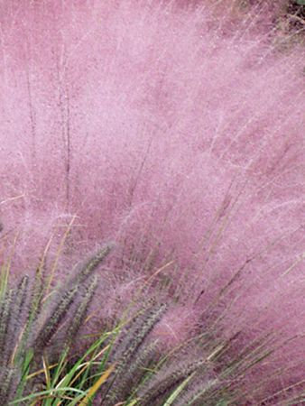 Tall Perennial Grasses Zone 3 Wow Com Image Results Ornamental Grasses Plants Trees To Plant