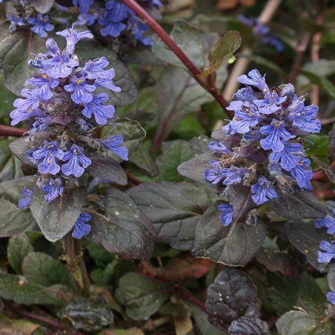 Plant Identification Blue And Purple Flower Blue And Purple Flowers Purple Flowers Purple Flowering Plants