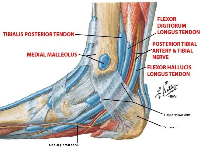 Tendons In Ankle Anatomy Gallery - human body anatomy