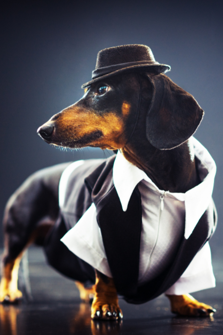 Portrait Of A Dachshund Dog Black And Tan Dressed In An Elegant Suit White Shirt Hat Dancing With Strong Backlig Love