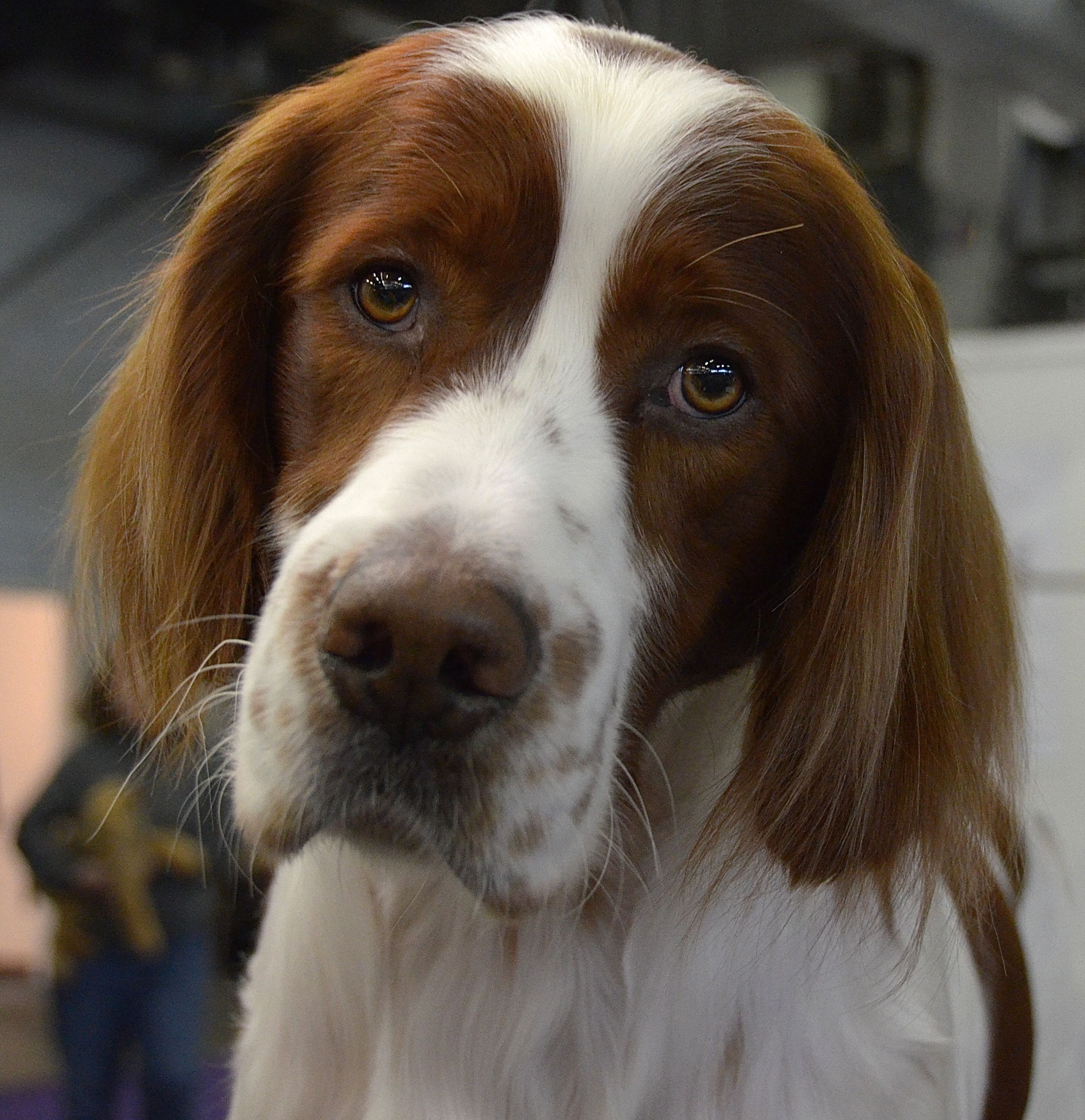 Gilbey the Irish Red and White Setter. Westminster Kennel ...