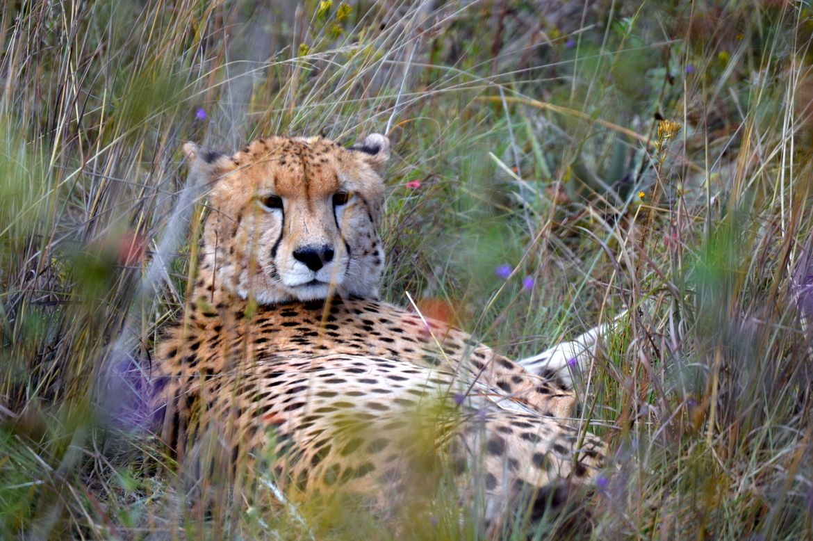 South African Cheetah Kitties Big And Small South Africa