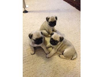 Gorgeous Pure Pedigree Pug Puppies For Sale Ready Now From