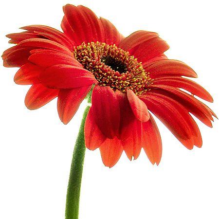 detail02 jpg 450 450 flower gerbera daisies pinterest