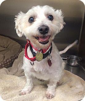 Oak Ridge Nj Maltese Westie West Highland White Terrier Mix