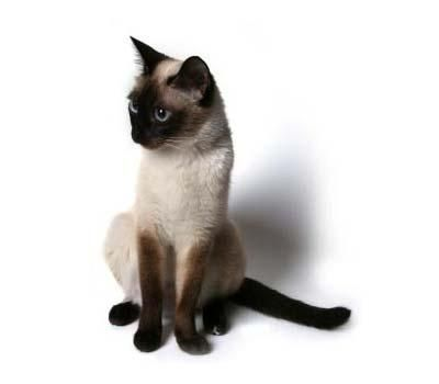 Siamese cat - but only old style cause modern ones look like aliens!