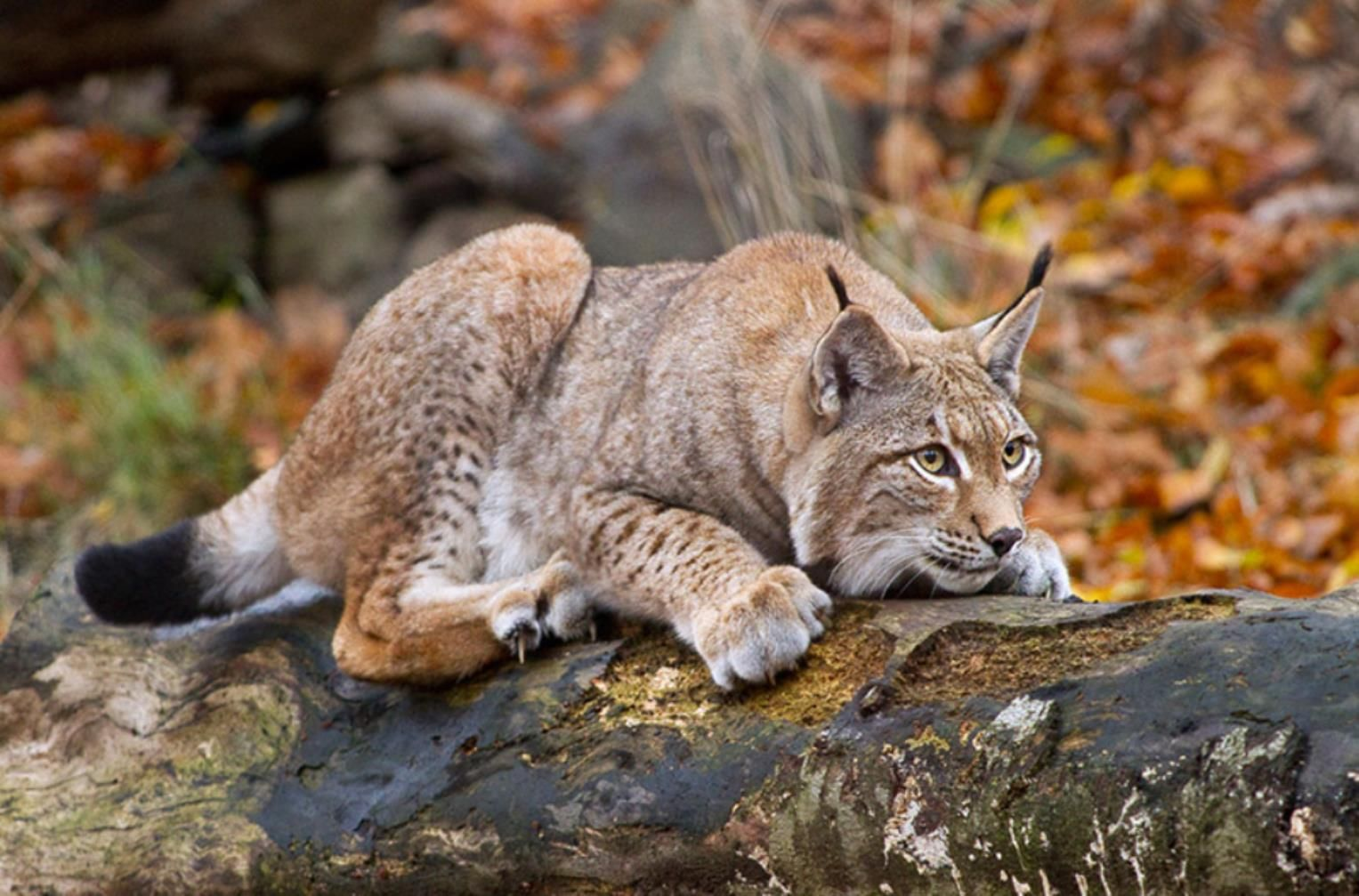 Pin by Michael Land on Lynx Wild cats, Feline, Big cats