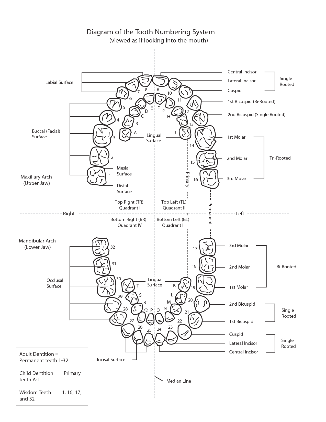 Teeth Diagram Labeled Wiring For Led Lights Of The Tooth Numbering System Homeschool