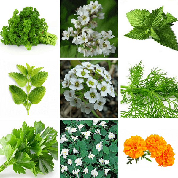 Natural Pest Control Plants Health Remedies Herbal Remedies Natural Garden